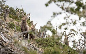 Alpine Ibex, Alpine Ibex van Dominik Imhof