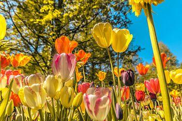 Kleurrijk veld met tulpen van Stedom Fotografie