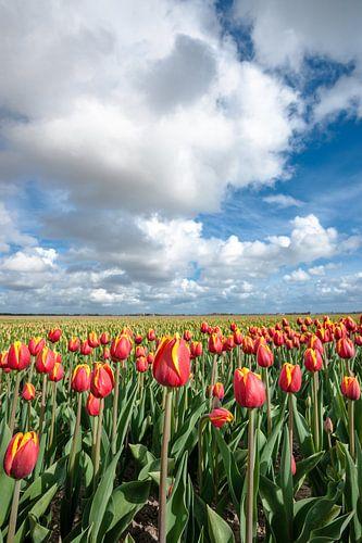 Fris gekleurde tulpenveld in de Lente