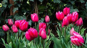 veld met paarse tulpen