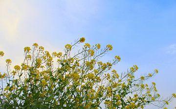 Gele bloemen met blauwe lucht von DMshoot .