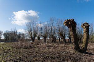 Knotwilgen in Nederlands winterlandschap van