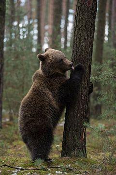 Jonge beer, bruine beer (Europese bruine beer, Ursus arctos) die zijn poot op zijn achterpoten likt. van wunderbare Erde