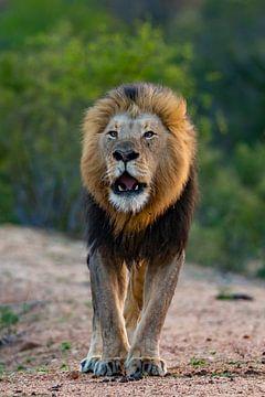 De leeuw sur Willem Vernes