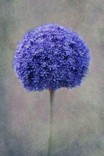 blue Allium van Claudia Moeckel