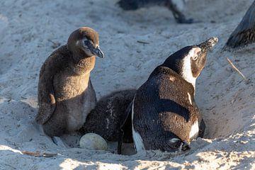 Famille de pingouins sur Dennis Eckert