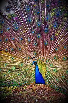 Peacock von