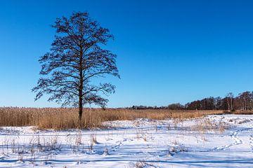 Baum am Bodden bei Wieck auf dem Fischland-Darß im Winter von Rico Ködder
