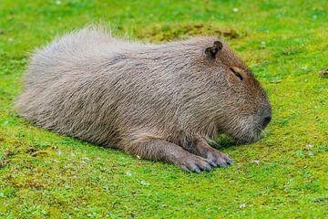 Capybara - Hydrochaeris hydrochaeris