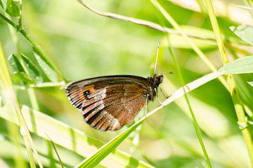 Monniksoogvlinder op een grasspriet RawBird Photo's Wouter Putter von Rawbird Photo's Wouter Putter