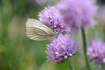 vlinder op bieslook van Eveline De Brabandere