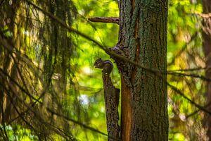 Een Siberische grondeekhoorn als acrobaat van Hugo Braun