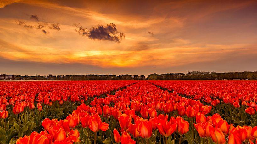 Tulips Sunset Holland van Michael van der Burg