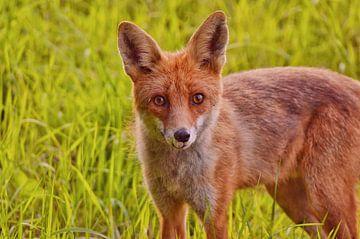 Jonge nieuwsgierige vos van Geert De Graaf