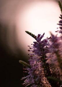 paars silhouet