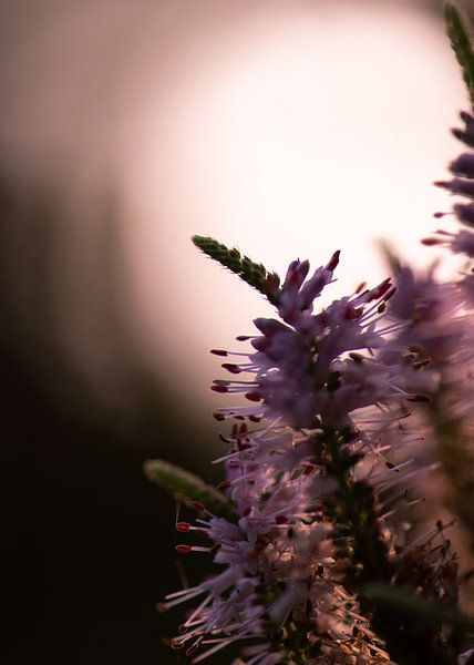 paars silhouet van Tania Perneel