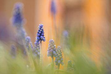blaue Weintrauben von Ria Bloemendaal