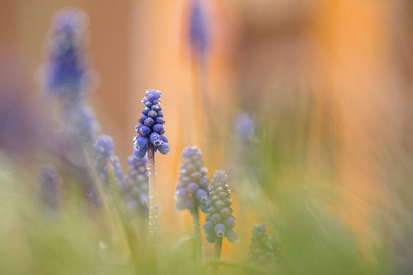 blauwe druifjes van Ria Bloemendaal