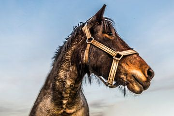 Trek Paarden