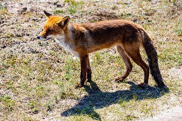 Fuchs in den Amsterdamer Wasserversorgungsdünen von Carin IJpelaar
