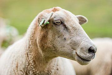 Mouton sur Adri Rovers