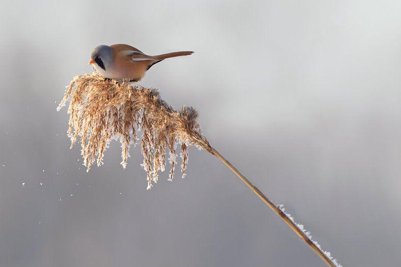Baardmannetje in het riet in de winter van Jeroen Stel