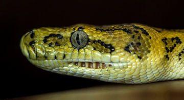 Slang: Tapijt Python van