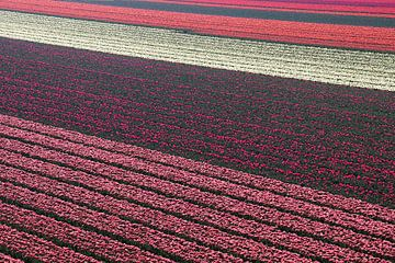 Tulpenvelden von Bob Bleeker