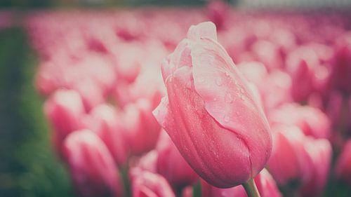 Bloeiende tulpen in Hollandse polder