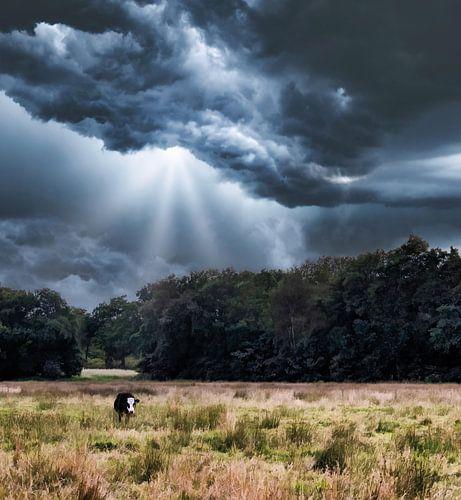 Kalmte voor de storm Blaarkop koe