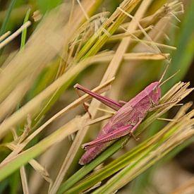 Rosa Heuschrecke im Gras von Kristof Lauwers