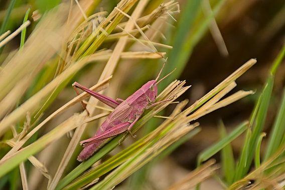 Roze sprinkhaan in het gras
