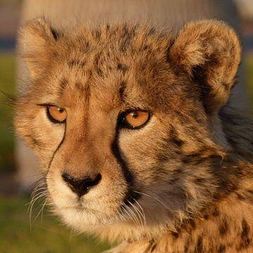Cheetah portret van Marion van Kints