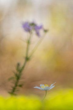Buschwindröschen und Kuckucksblume von John van de Gazelle