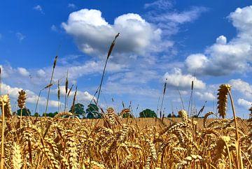 Close-up van een tarweveld in de zomer met witte wolken aan de blauwe hemel van MPfoto71