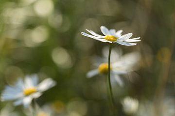 Gänseblümchen von Marianne Twijnstra-Gerrits