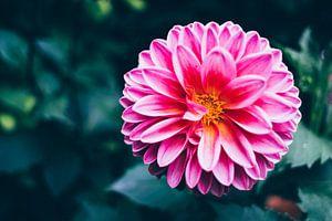 Rosa Blume im dunklen Garten von Patrycja Polechonska