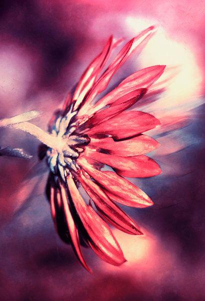 Glowing Pink Chrysanthemum van Nannie van der Wal