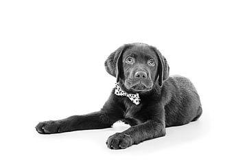Labrador Retriever Bruin von Sven Olaerts