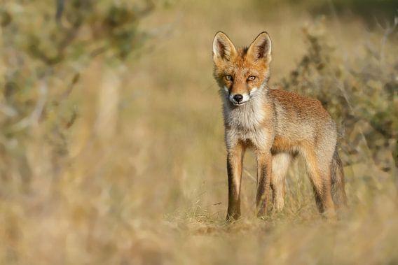 Jonge vossen welp van Menno Schaefer