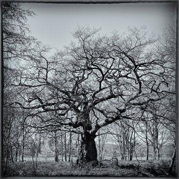 Alter Baum von Freddy Hoevers