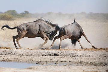Kampf gegen Gnus in Botswana von Geert Neukermans