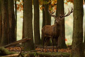 Bronstig Edelhert in boslandschap tijdens de herfst van