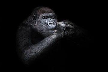 Schielender weiblicher Gorilla mit Händen an der Schnauze Nahaufnahme, lustig, als ob eine Zigarette von Michael Semenov