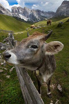 zuid-Tirol Koe op het weiland van