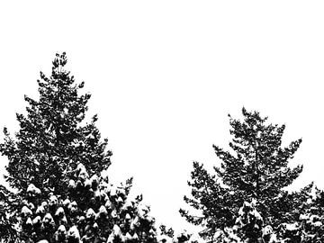 Zwei Baumwipfel mit schneebedeckten Spitzen von Jörg Hausmann