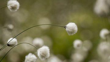Veenpluis in dromerige sfeer   van Peter Grobbee