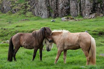 Icelandic horses sur Ab Wubben