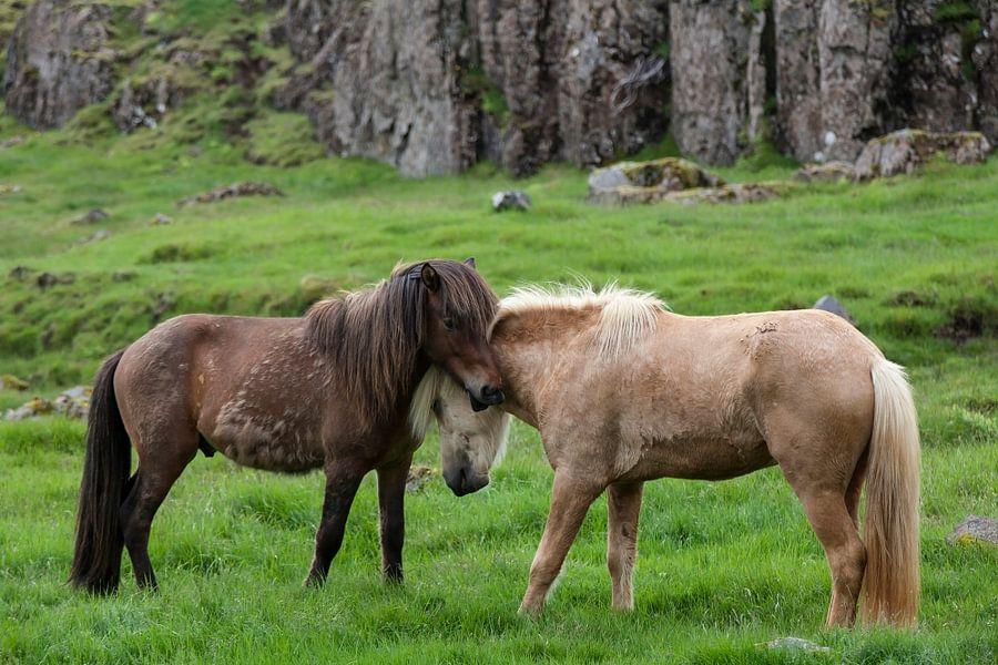 IJslandse paarden van Ab Wubben