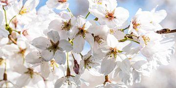 Makro Blüten der Kirsche von Dieter Walther